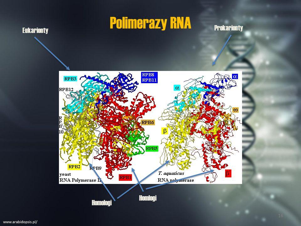 Ogólny przebieg transkrypcji u prokariota.Inicjacja (rozpoczęcie).
