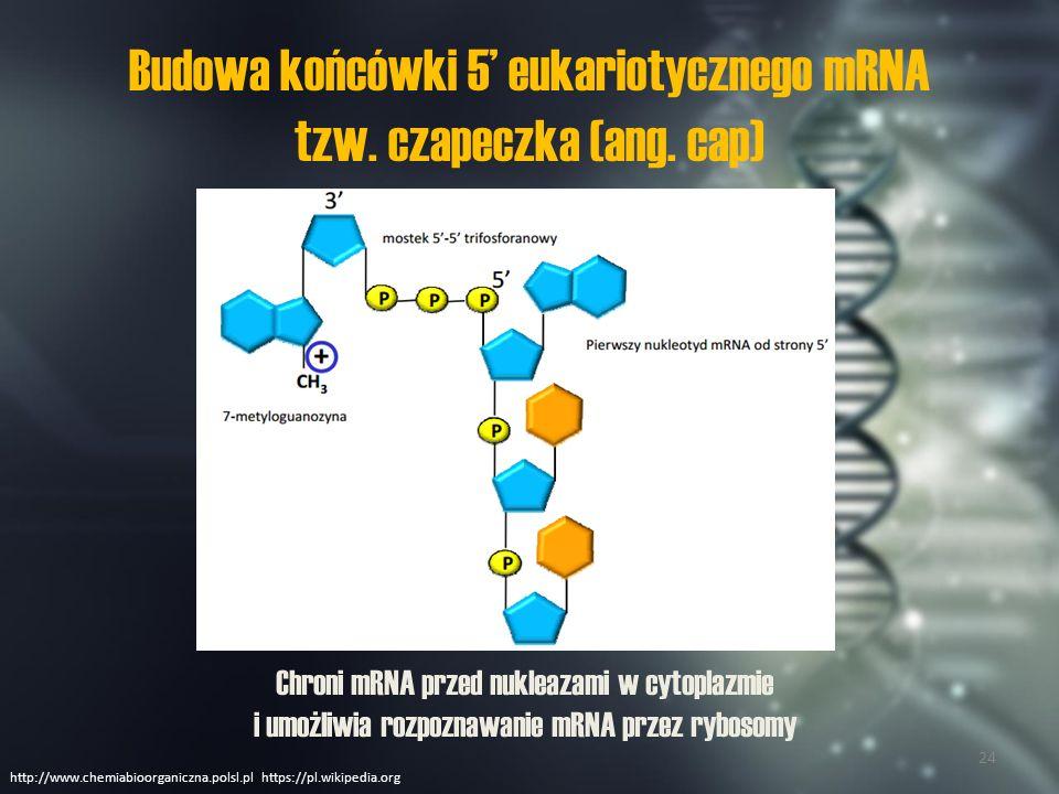 Ogon poliA Ogonek poliA jest krótką nicią (3') złożoną z kilkudziesięciu nukleotydów z adeniną.