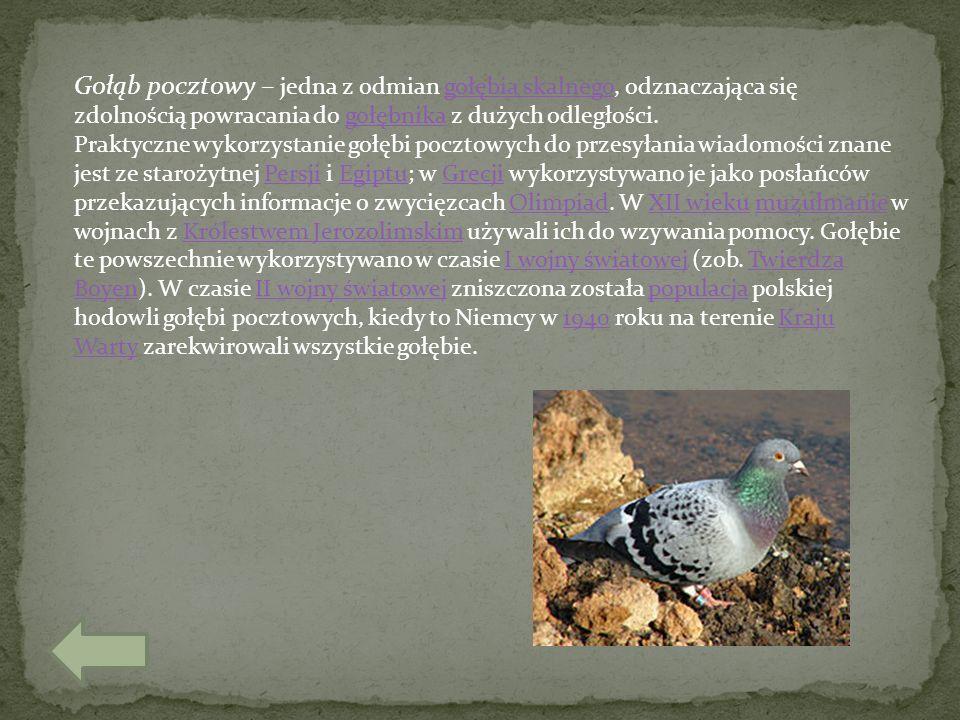 Gołąb pocztowy – jedna z odmian gołębia skalnego, odznaczająca się zdolnością powracania do gołębnika z dużych odległości.gołębia skalnegogołębnika Pr