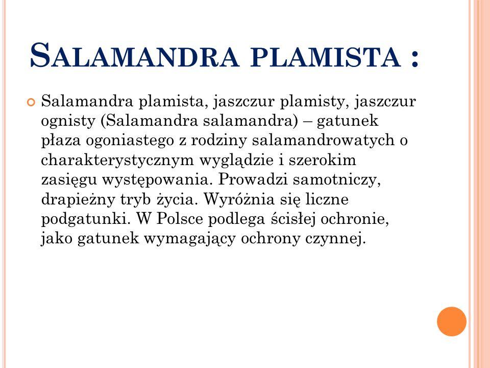 S ALAMANDRA PLAMISTA : Salamandra plamista, jaszczur plamisty, jaszczur ognisty (Salamandra salamandra) – gatunek płaza ogoniastego z rodziny salamand