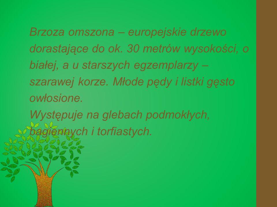Brzoza omszona – europejskie drzewo dorastające do ok.