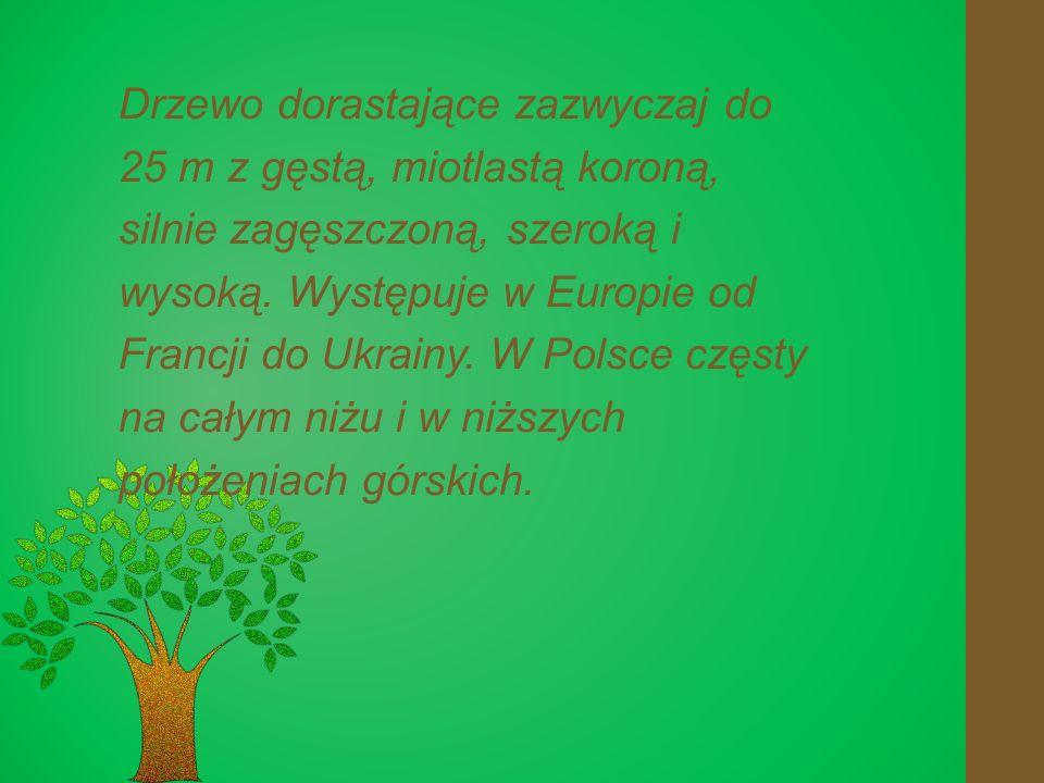 Drzewo dorastające zazwyczaj do 25 m z gęstą, miotlastą koroną, silnie zagęszczoną, szeroką i wysoką.