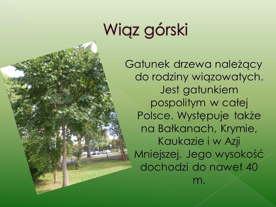 Gatunek drzewa należący do rodziny wiązowatych.Jest gatunkiem pospolitym w całej Polsce.