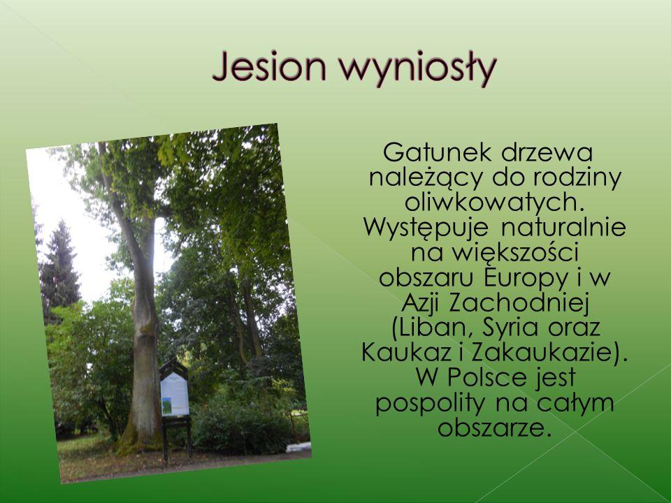 Gatunek drzewa należący do rodziny oliwkowatych. Występuje naturalnie na większości obszaru Europy i w Azji Zachodniej (Liban, Syria oraz Kaukaz i Zak