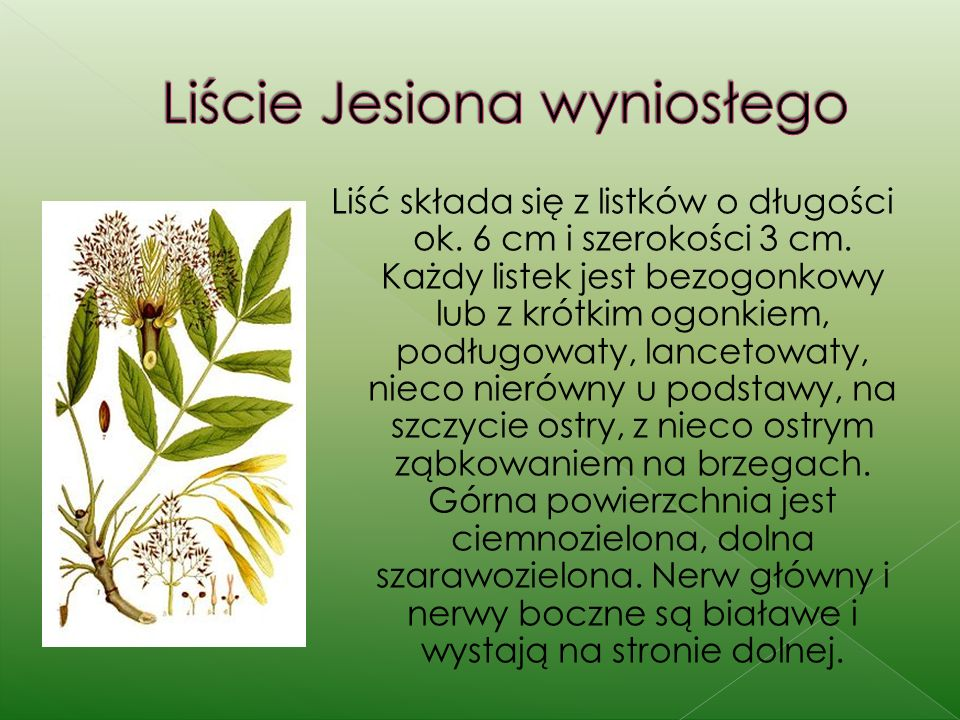 Liść składa się z listków o długości ok.6 cm i szerokości 3 cm.