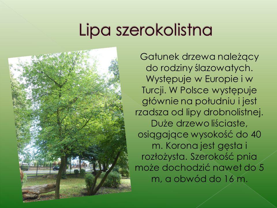 Gatunek drzewa należący do rodziny ślazowatych. Występuje w Europie i w Turcji. W Polsce występuje głównie na południu i jest rzadsza od lipy drobnoli