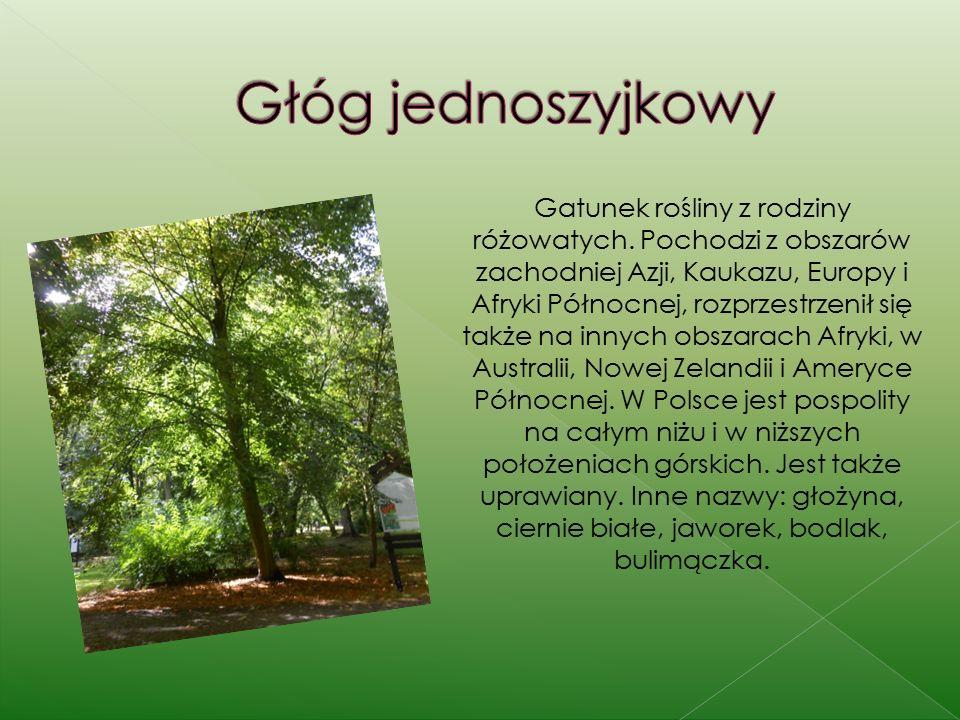 Gatunek rośliny z rodziny różowatych. Pochodzi z obszarów zachodniej Azji, Kaukazu, Europy i Afryki Północnej, rozprzestrzenił się także na innych obs