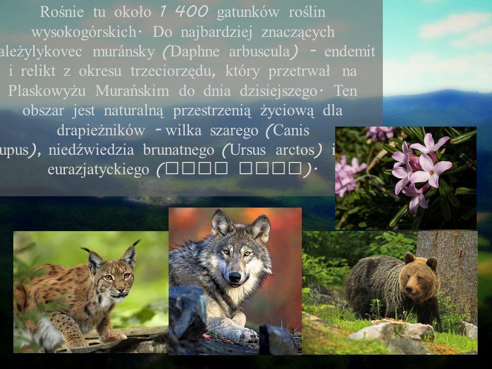 Rośnie tu około 1 400 gatunków roślin wysokogórskich. Do najbardziej znaczących należylykovec mur á nsky ( Daphne arbuscula ) - endemit i relikt z okr