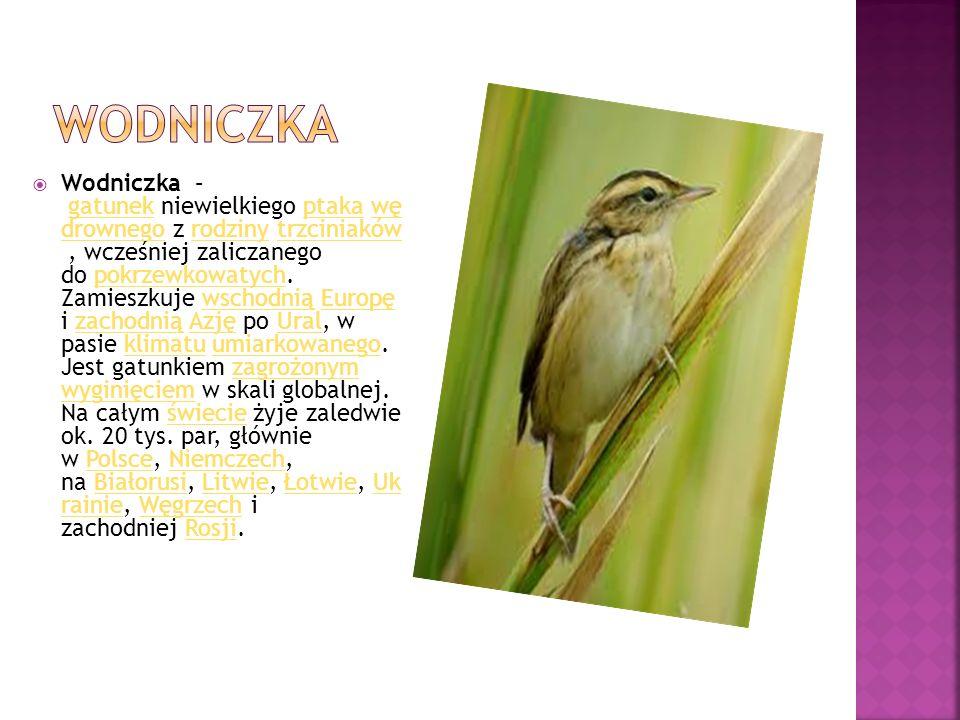  Wodniczka – gatunek niewielkiego ptaka wę drownego z rodziny trzciniaków, wcześniej zaliczanego do pokrzewkowatych. Zamieszkuje wschodnią Europę i z