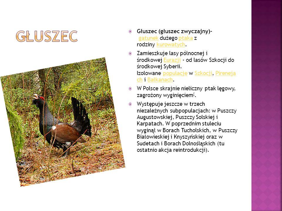  Głuszec (głuszec zwyczajny)– gatunek dużego ptaka z rodziny kurowatych.gatunekptakakurowatych  Zamieszkuje lasy północnej i środkowej Eurazji - od
