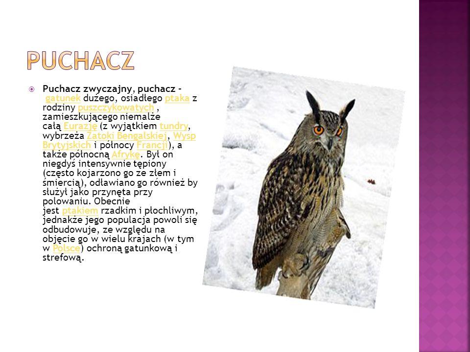 Puchacz zwyczajny, puchacz – gatunek dużego, osiadłego ptaka z rodziny puszczykowatych, zamieszkującego niemalże całą Eurazję (z wyjątkiem tundry, w