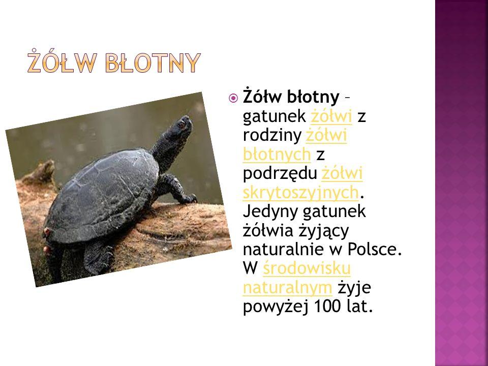  Żółw błotny – gatunek żółwi z rodziny żółwi błotnych z podrzędu żółwi skrytoszyjnych. Jedyny gatunek żółwia żyjący naturalnie w Polsce. W środowisku