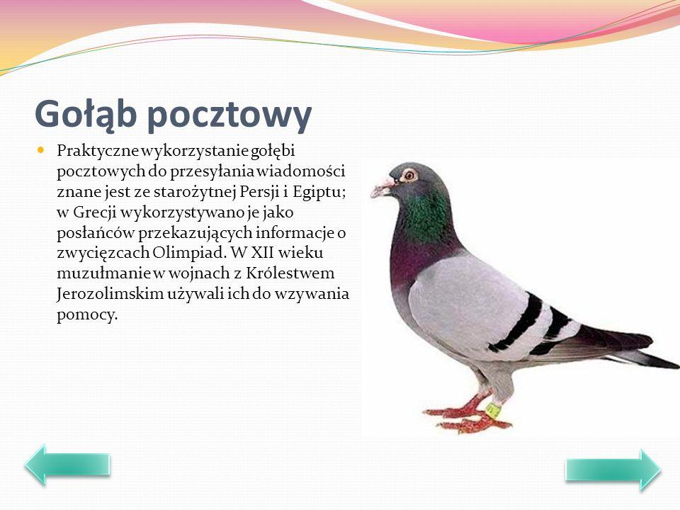 Gołąb pocztowy Praktyczne wykorzystanie gołębi pocztowych do przesyłania wiadomości znane jest ze starożytnej Persji i Egiptu; w Grecji wykorzystywano je jako posłańców przekazujących informacje o zwycięzcach Olimpiad.
