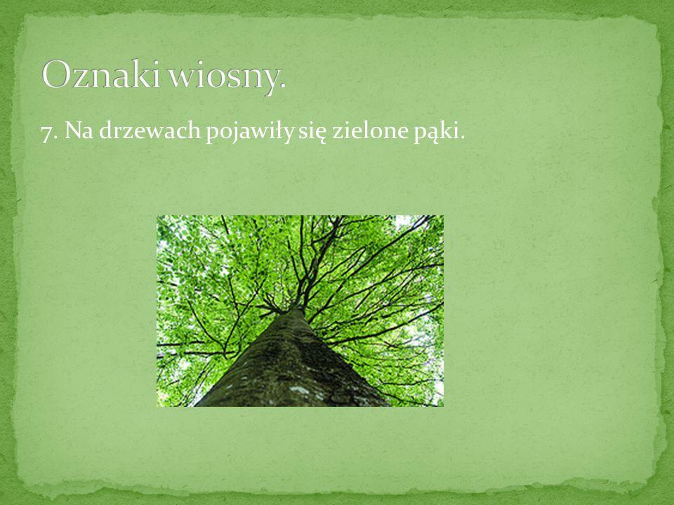 7. Na drzewach pojawiły się zielone pąki.