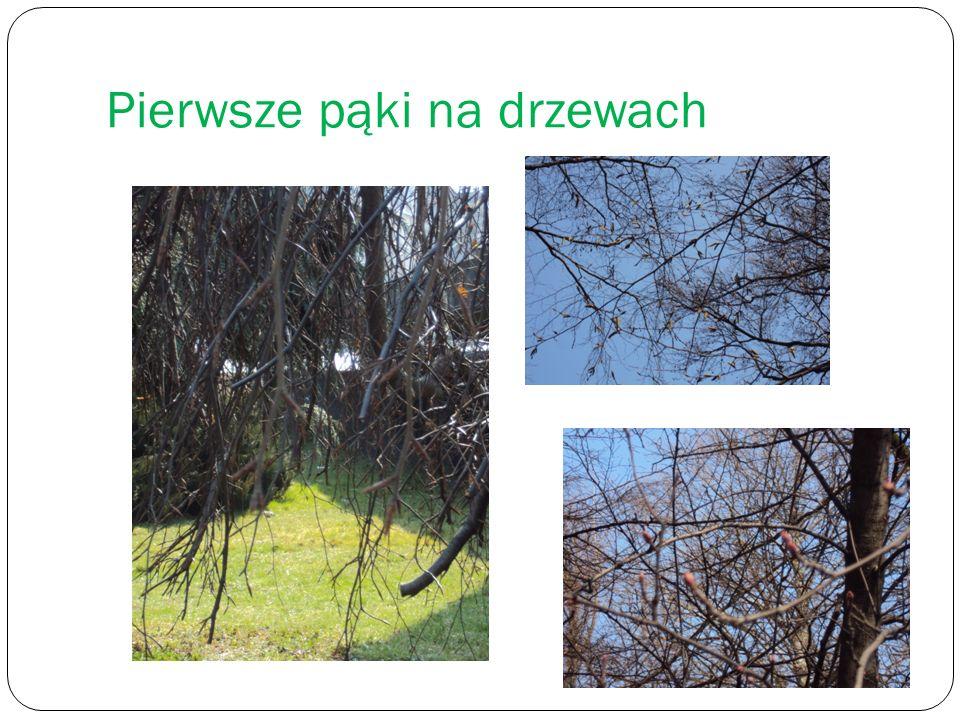 Pierwsze pąki na drzewach