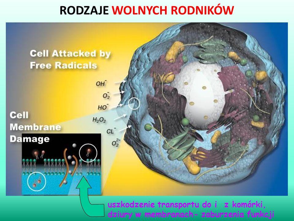 RODZAJE WOLNYCH RODNIKÓW uszkodzenie transportu do i z komórki, dziury w membranach- zaburzenia funkcji