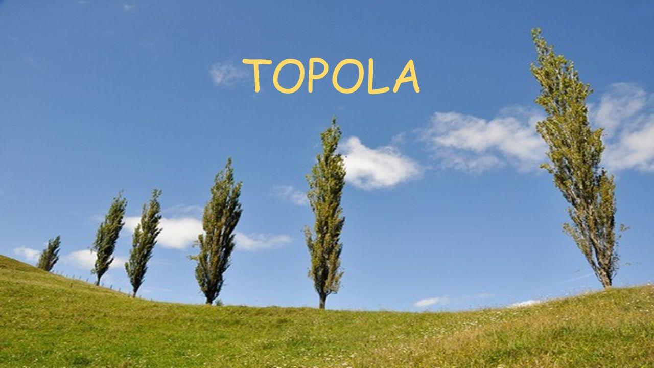 CO TO JEST TOPOLA.Topola (Populus L.) – rodzaj drzew z rodziny wierzbowatych (Salicaceae Mirb.).