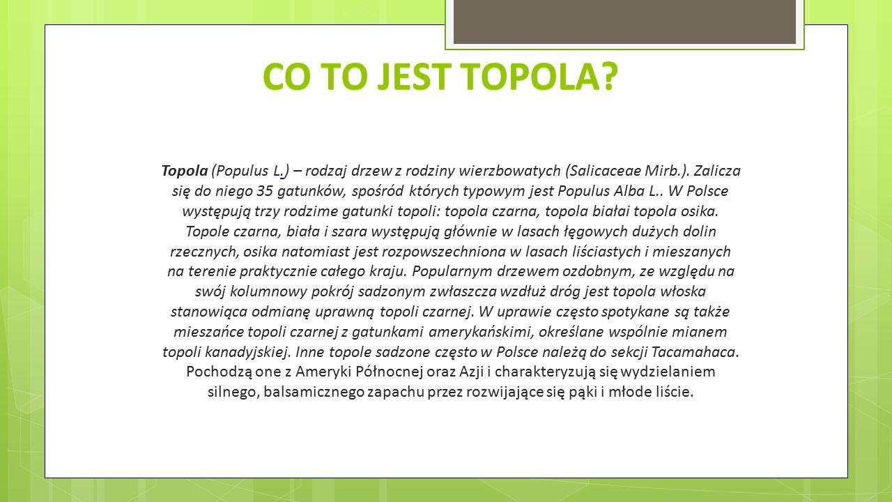 CO TO JEST TOPOLA? Topola (Populus L.) – rodzaj drzew z rodziny wierzbowatych (Salicaceae Mirb.). Zalicza się do niego 35 gatunków, spośród których ty