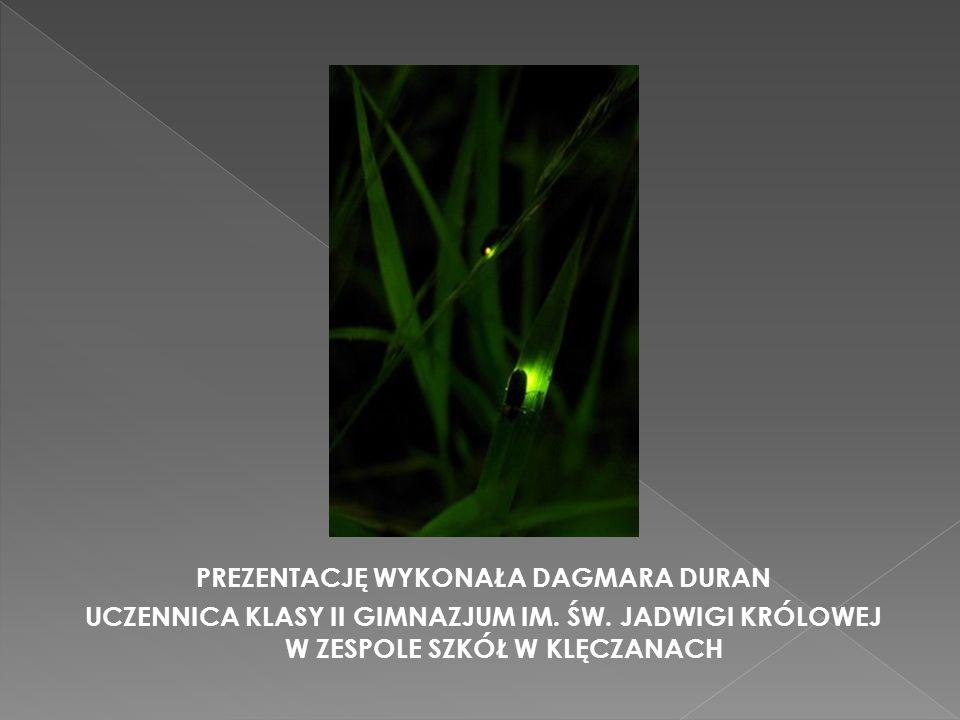  Świetliki potrafią zmieniać zarówno intensywność świecenia, jak i barwę światła. Intensywność świecenia u świetlików jest regulowana przez układ ner