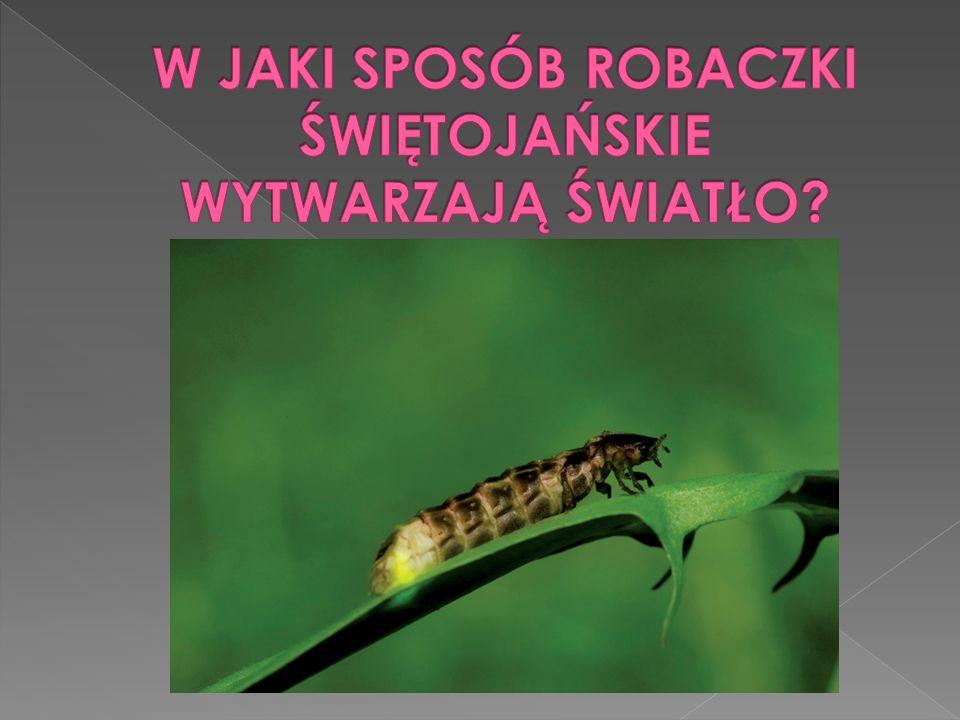  Świetlikowate, robaczki świętojańskie (Lampyridae) – rodzina z rzędu chrząszczy. Liczy ok. 2000 gatunków żyjących na roślinności terenów zadrzewiony