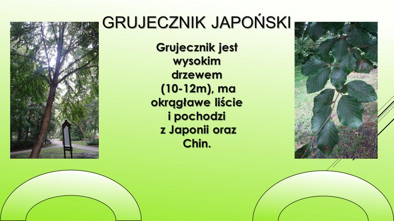 GRUJECZNIK JAPOŃSKI Grujecznik jest wysokim drzewem (10-12m), ma okrągławe liście i pochodzi (10-12m), ma okrągławe liście i pochodzi z Japonii oraz C