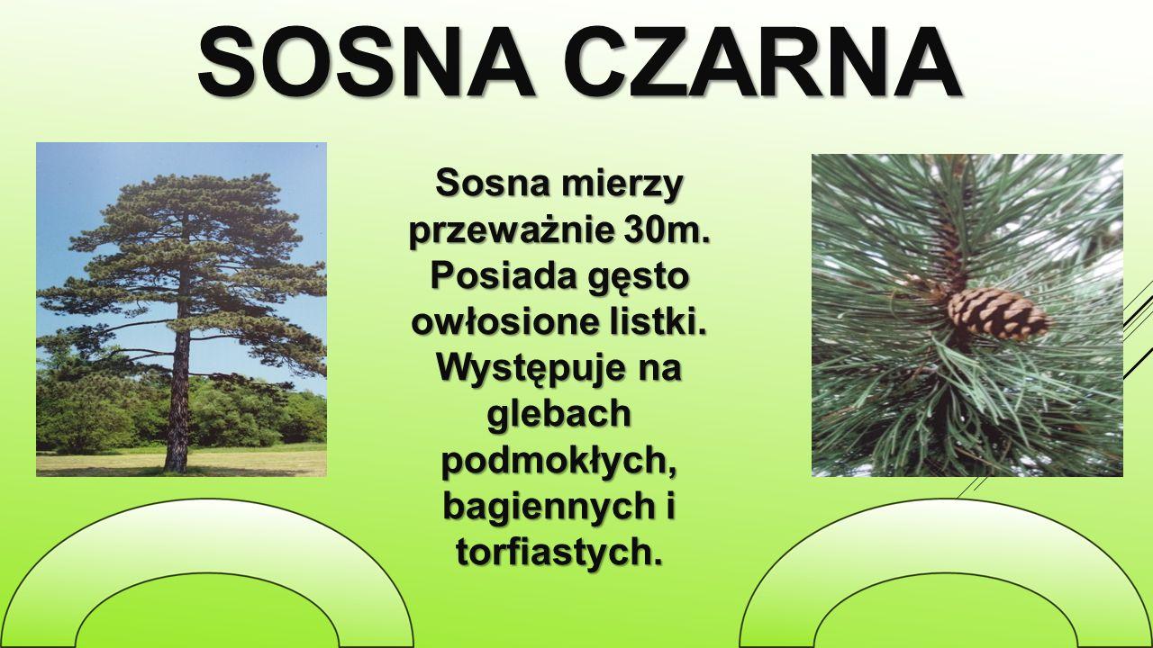 SOSNA CZARNA Sosna mierzy przeważnie 30m. Posiada gęsto owłosione listki. Występuje na glebach podmokłych, bagiennych i torfiastych.