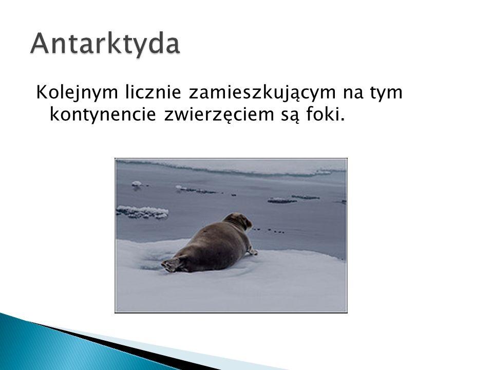 Kolejnym licznie zamieszkującym na tym kontynencie zwierzęciem są foki.