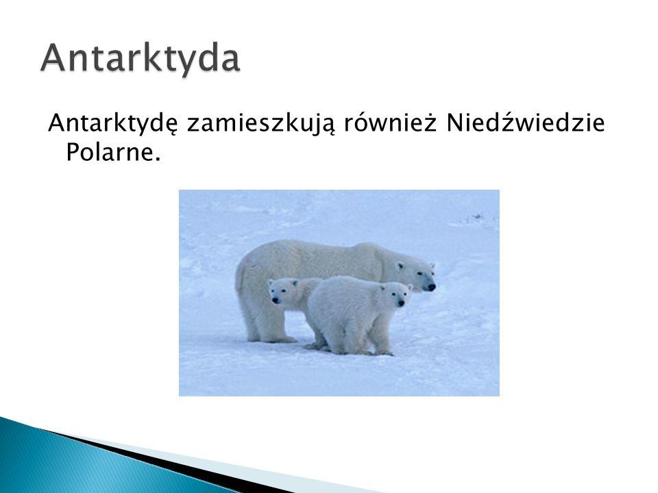 Antarktydę zamieszkują również Niedźwiedzie Polarne.