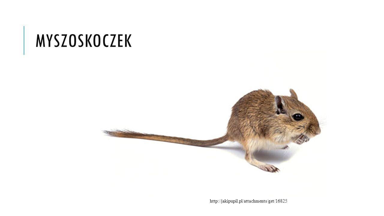 MYSZOSKOCZEK http://jakipupil.pl/attachments/get/16825