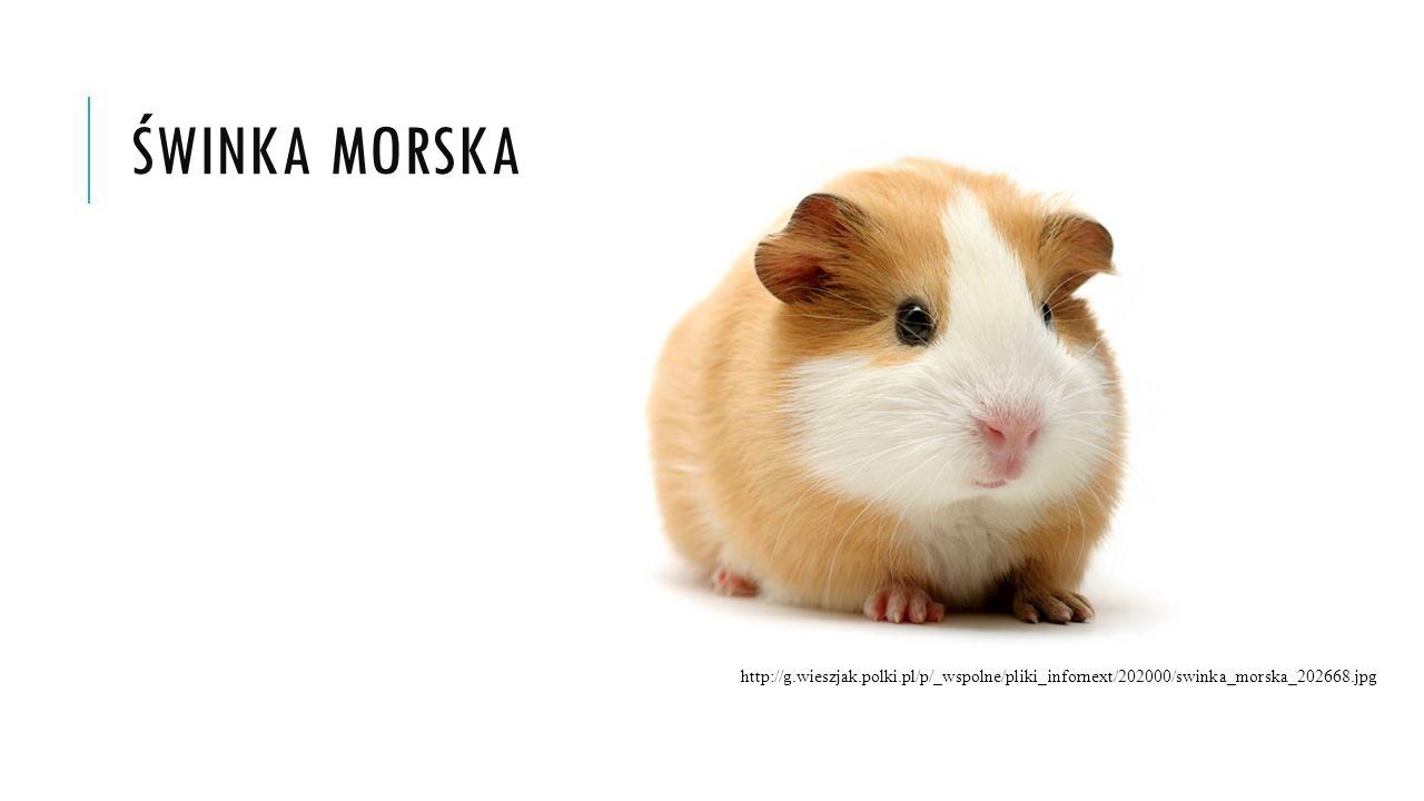 ŚWINKA MORSKA http://g.wieszjak.polki.pl/p/_wspolne/pliki_infornext/202000/swinka_morska_202668.jpg