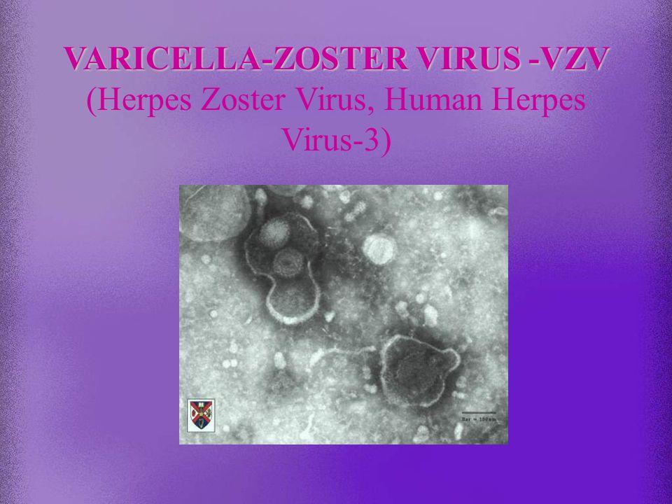 Chemioterapia analogi nukleozydów ACYCLOVIR famcyklowir i walacyklowir aktywne tylko wobec replikujących wirusów (nieaktywne wobec latentnych) acyklow