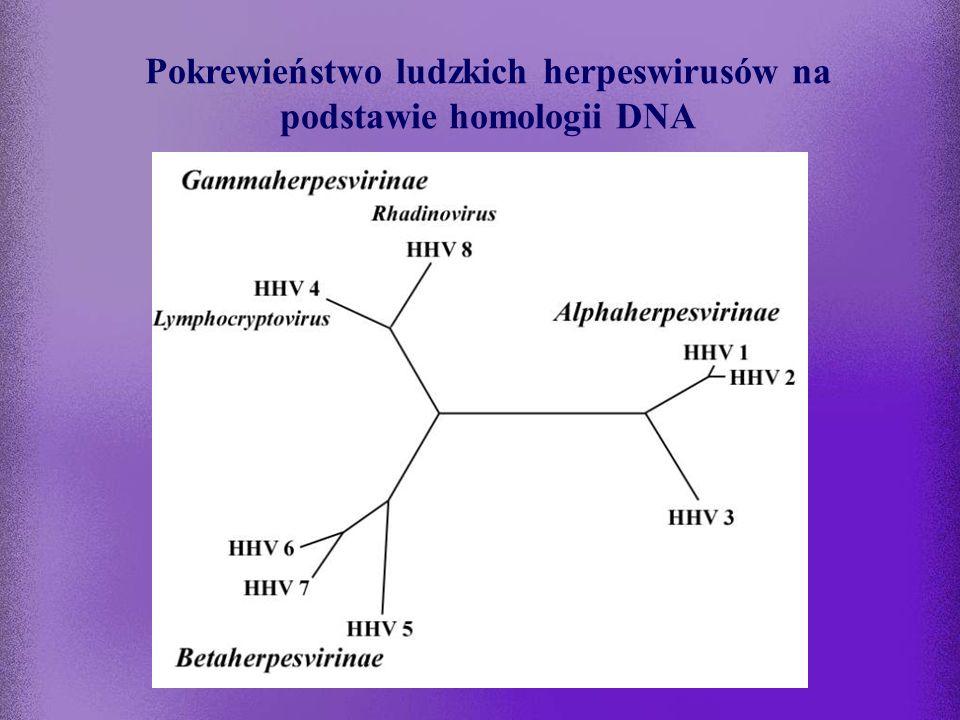 Rodzina Herpesviridae Podrodzina Alphaherpesvirinae –rodzaj Simplexvirus: HSV-1 (HHV 1) HSV-2 (HHV 2) –rodzaj Varicellovirus:VZV (HHV 3) Podrodzina Be