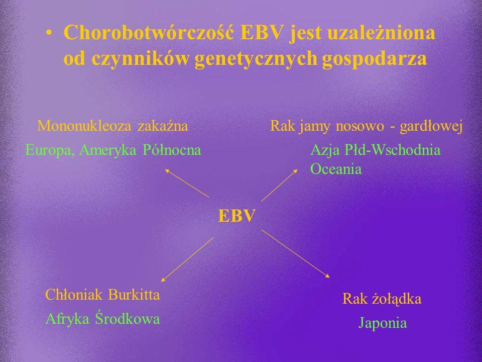 HHV 4 a zmiany nowotworowe niektóre białka wirusa działają jako bezpośrednie onkogeny (LMP-1) translokacje chromosomalne w zakażonych limfocytach (akt