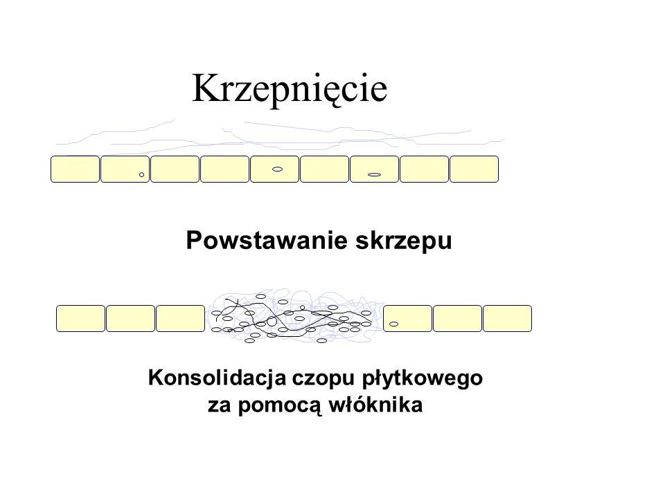 Krzepnięcie Powstawanie skrzepu Konsolidacja czopu płytkowego za pomocą włóknika