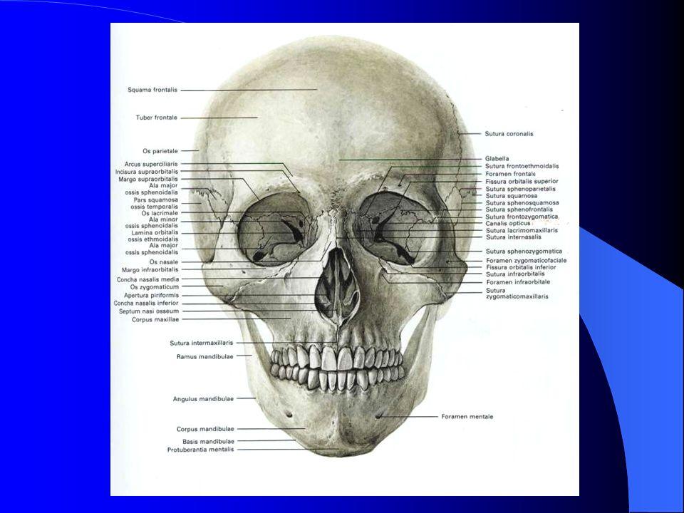 OCZODÓŁ :  7 kości twarzy i czaszki  ma kształt czworobocznej piramidy, podstawa (aditus orbitae) stanowi wejście do oczodołu  wierzchołek sięga do kanału n.II  4 ściany, 9 otworów  głębokość 50 mm, obj.