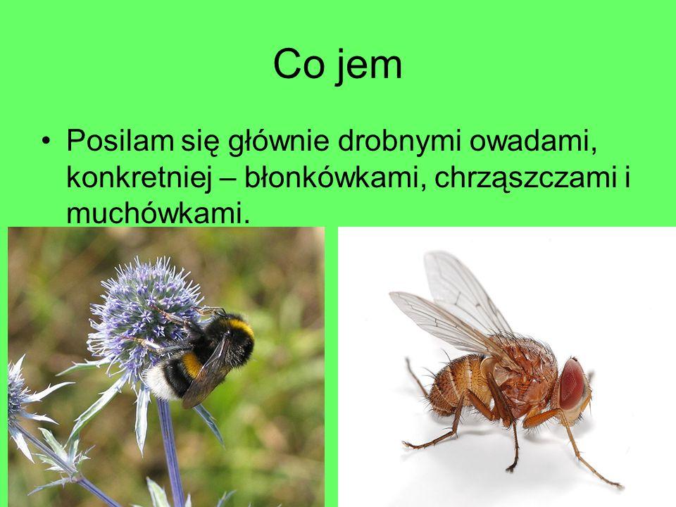 Co jem Posilam się głównie drobnymi owadami, konkretniej – błonkówkami, chrząszczami i muchówkami.