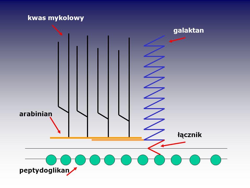 peptydoglikan arabinian łącznik  kwas mykolowy galaktan