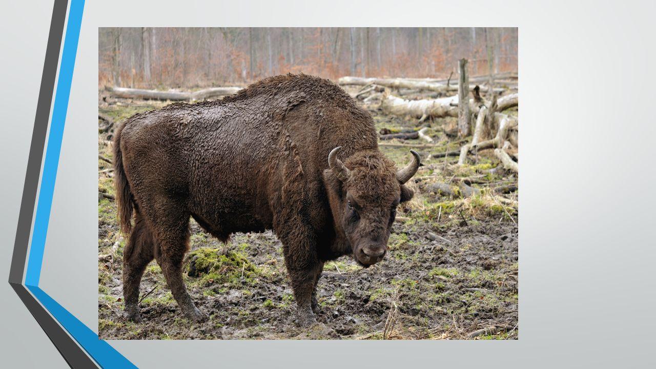 NORKA EUROPEJSKA Jest to gatunek ssaka z rodziny łasicowatych, dawniej spotykany w całej Europie.