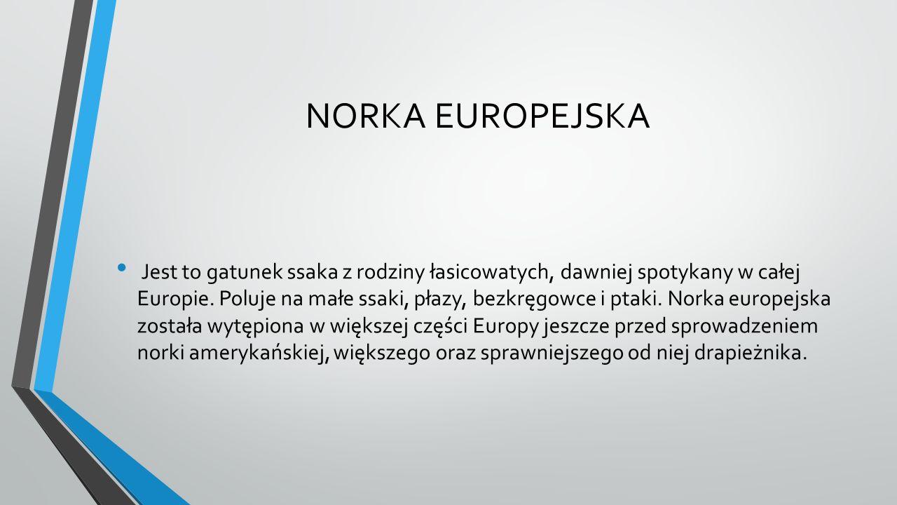 NORKA EUROPEJSKA Jest to gatunek ssaka z rodziny łasicowatych, dawniej spotykany w całej Europie. Poluje na małe ssaki, płazy, bezkręgowce i ptaki. No