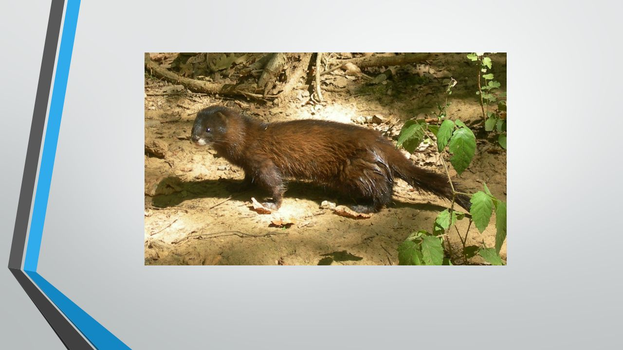 GACEK SZARY Jest to gatunek ssaka z rzędu nietoperzy.