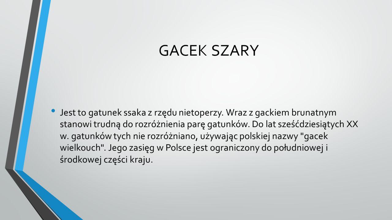 GACEK SZARY Jest to gatunek ssaka z rzędu nietoperzy. Wraz z gackiem brunatnym stanowi trudną do rozróżnienia parę gatunków. Do lat sześćdziesiątych X