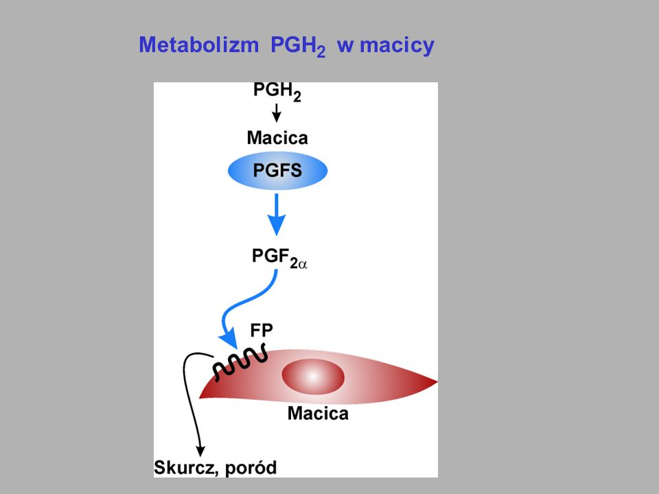 Metabolizm PGH 2 w macicy