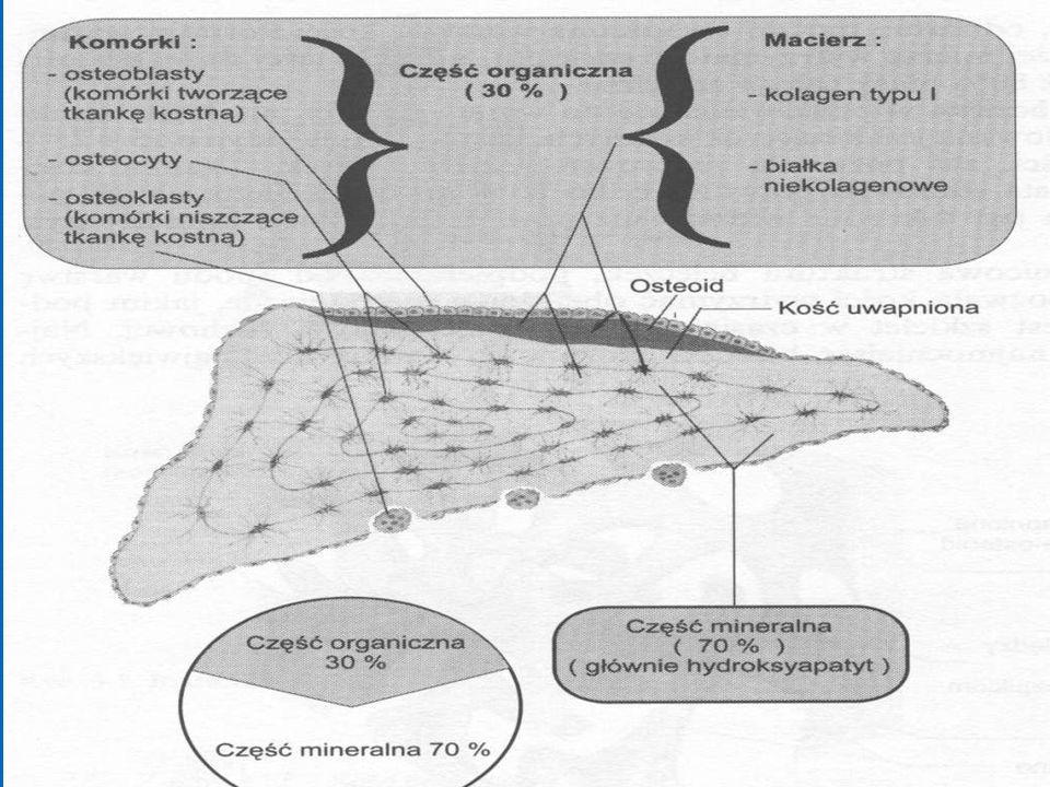 KOŚĆ składników: nieorganicznych 70% / 30% organicznych w części nieorganicznej: hydroksyapatyt - 95% minerałów całkowita zawartość wapnia w organizmie 1000 - 1500 gramów ( 99% w kościach ) fosfor 88% w kościachmagnez 50 % w kościach woda - 9% zawartości całkowitej w części organicznej: komórki: osteoblasty, osteoklasty, osteocyty - 2% macierz kostna - 98% składa się z : włokien kolagenu t.