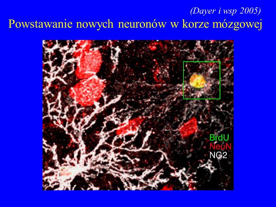 (Dayer i wsp 2005) Powstawanie nowych neuronów w korze mózgowej