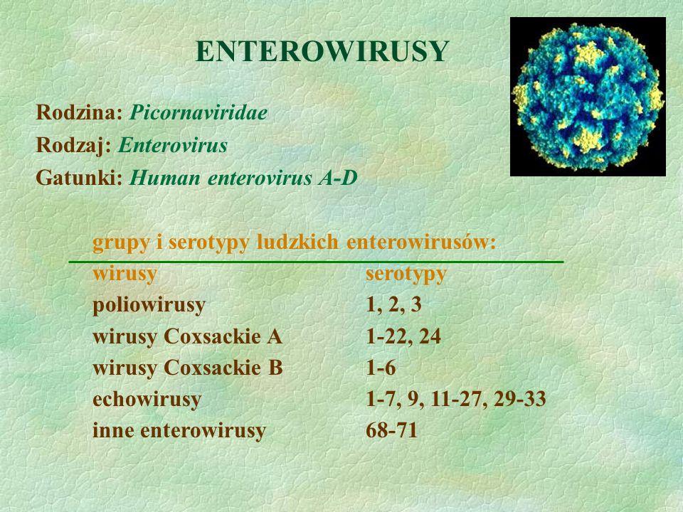 ENTEROWIRUSY Rodzina: Picornaviridae Rodzaj: Enterovirus Gatunki: Human enterovirus A-D grupy i serotypy ludzkich enterowirusów: wirusyserotypy poliow