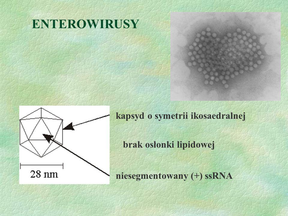 ENTEROWIRUSY kapsyd o symetrii ikosaedralnej brak osłonki lipidowej niesegmentowany (+) ssRNA