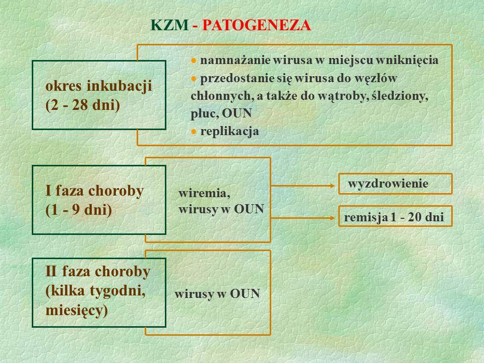 KZM - PATOGENEZA okres inkubacji (2 - 28 dni)  namnażanie wirusa w miejscu wniknięcia  przedostanie się wirusa do węzłów chłonnych, a także do wątro
