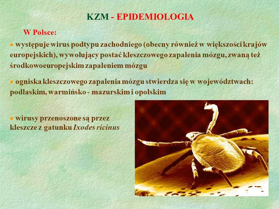 KZM - EPIDEMIOLOGIA  ogniska kleszczowego zapalenia mózgu stwierdza się w województwach: podlaskim, warmińsko - mazurskim i opolskim  wirusy przenos