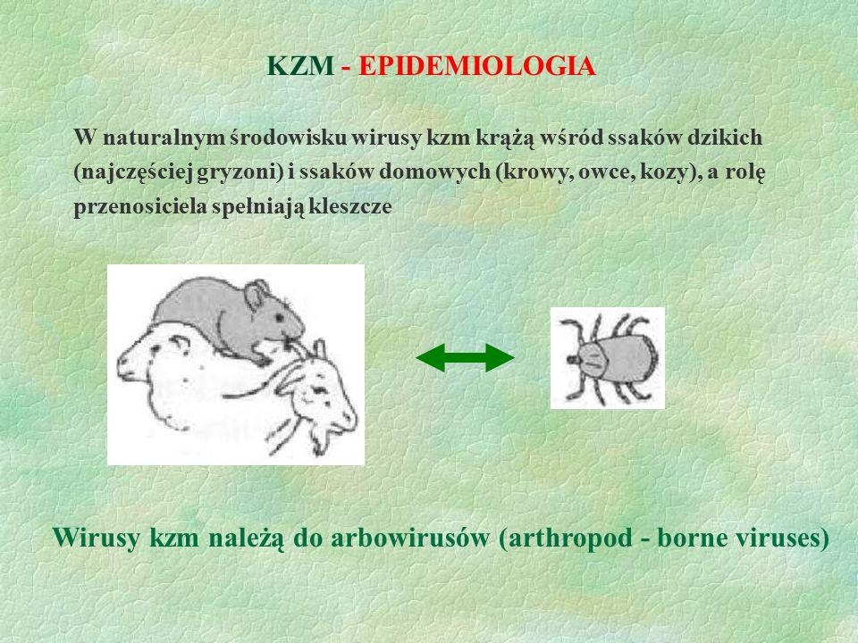 KZM - EPIDEMIOLOGIA Wirusy kzm należą do arbowirusów (arthropod - borne viruses) W naturalnym środowisku wirusy kzm krążą wśród ssaków dzikich (najczę