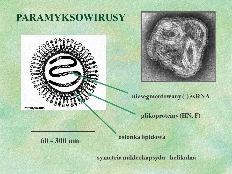 60 - 300 nm niesegmentowany (-) ssRNA symetria nukleokapsydu - helikalna osłonka lipidowa PARAMYKSOWIRUSY glikoproteiny (HN, F)